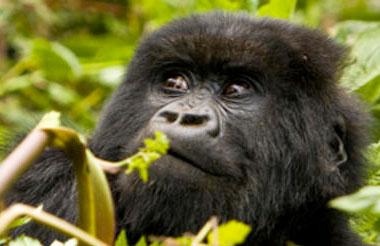 Rwanda In A Wink - Gorilla Encounter