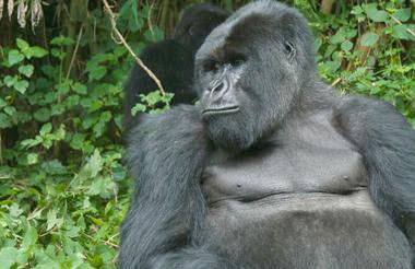Uganda - Gorillas & Game