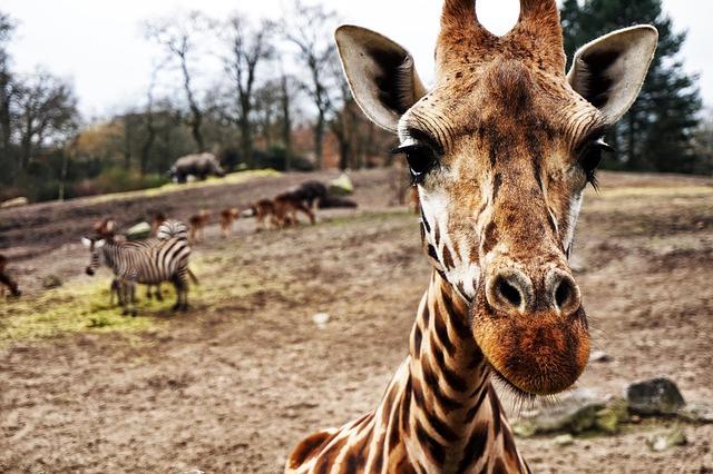 Giraffe and Adventure